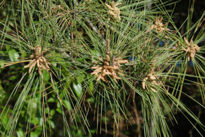 Early Spring Long Leaf Pine
