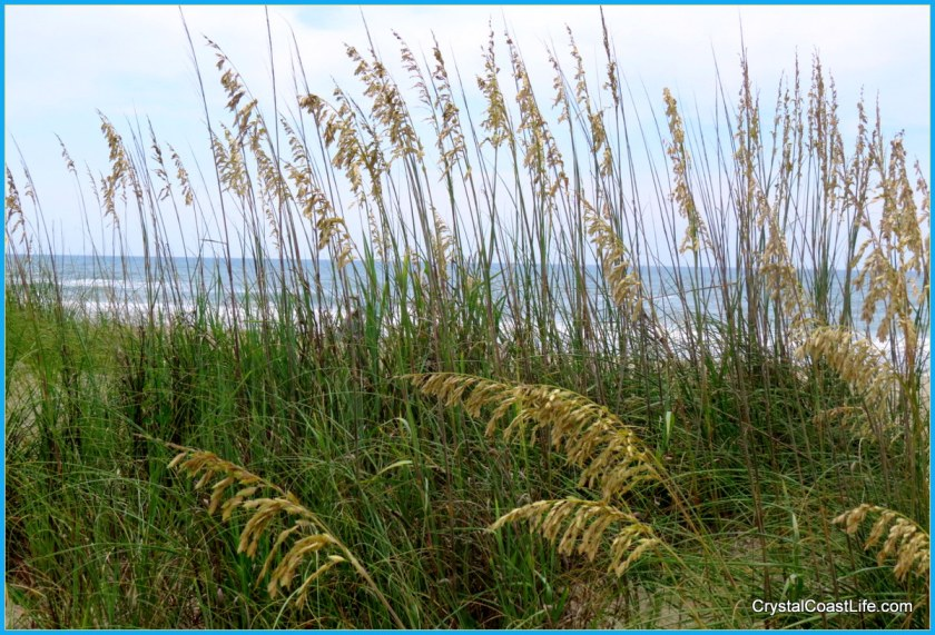 Sea Oats at Third Street Beach