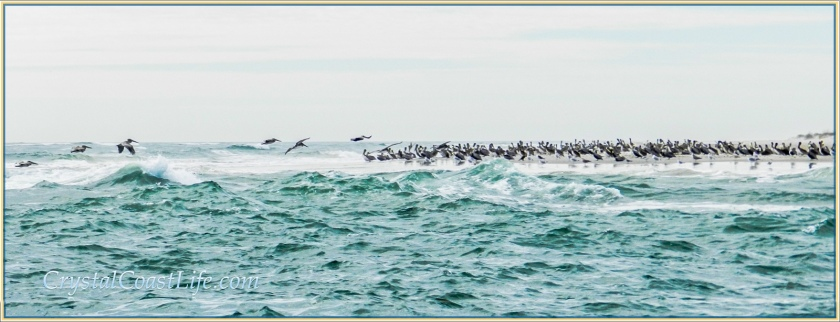 Mostly brown Pelicans on the eastern tip of Bear Island