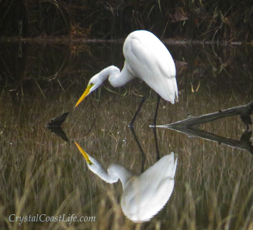 Great Egret stalking fish