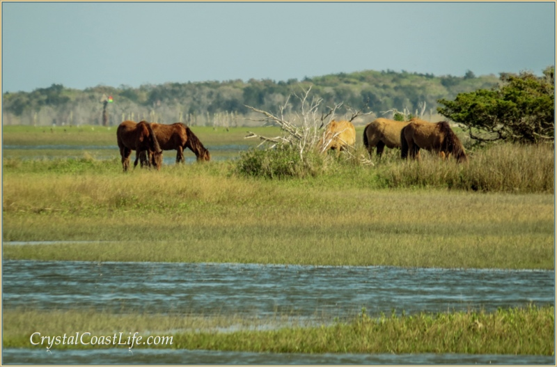 Ponies on the islands across from Beaufort