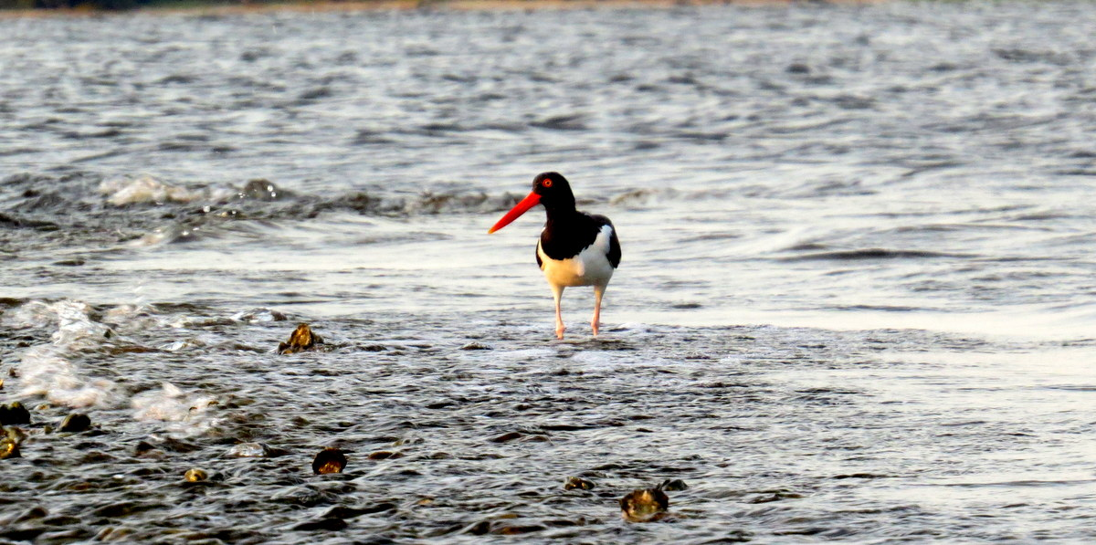 Advice from a wise oystercatcher