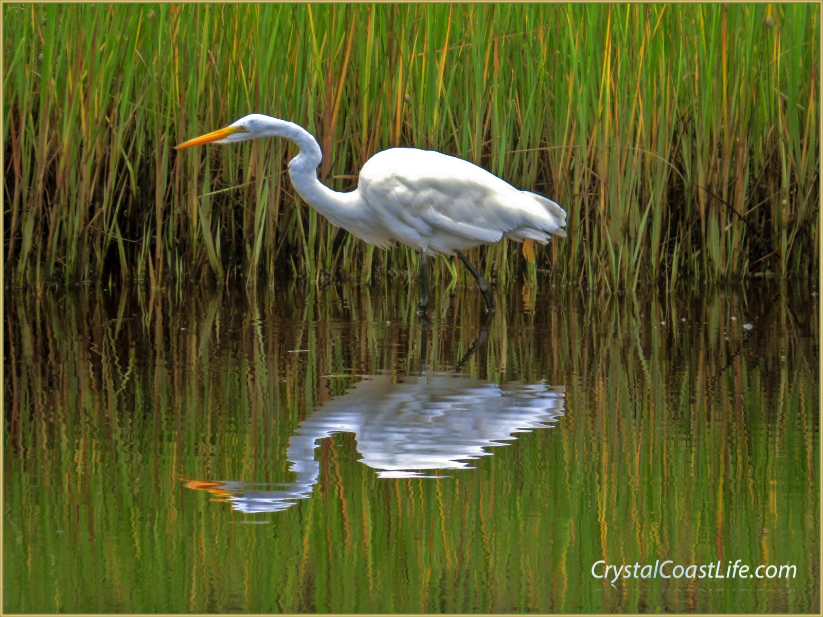 Great egret stalking prey