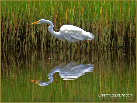 Great egret stalking prey