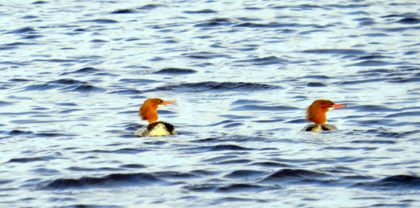 Mergansers on the White Oak
