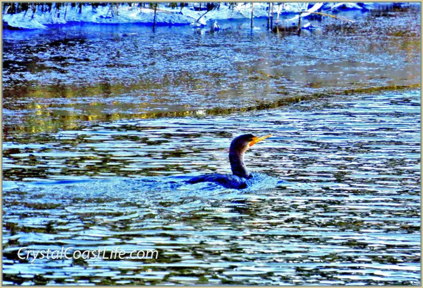 Cormorant Swimming By Early Morning Ice In Raymond's Gut